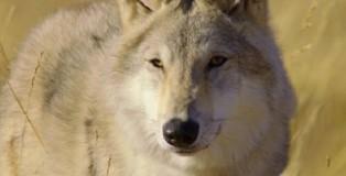 wolf totem trailer