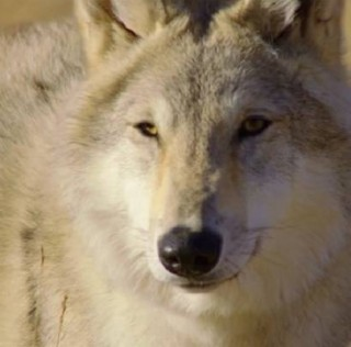 THE FRENCH TRAILER FOR WOLF TOTEM IS ONLINE