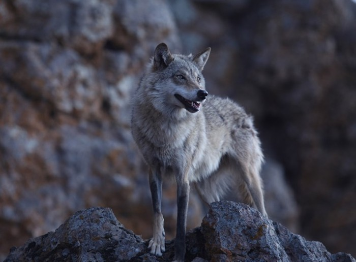 WOLF TOTEM: JAMES AND THE WOLF